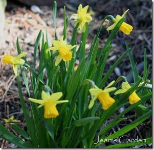 Tete-a-Tete daffodils in Gettysburg (photo credit: Jean Potuchek)