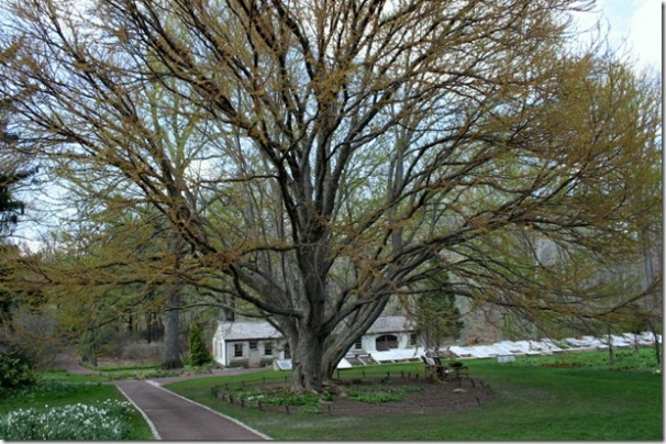 Katsura tree at Chanticleer (photo credit: Jean Potuchek)