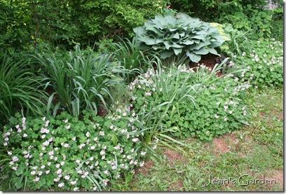 Geranium Biokovo in bloom in my Gettysburg garden (photo credit: Jean Potuchek)