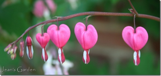 Flowers of Dicentra spectabilis (photo credit: Jean Potuchek)