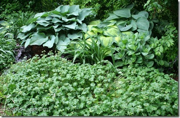 Foliage of Geranium and Hosta in the large flower bed (photo credit: Jean Potuchek)