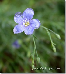 Flower of Linum perenne (photo credit: Jean Potuchek)