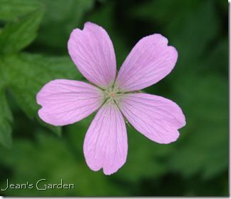 Geranium endressii 'Wargrave Pink' (photo credit: Jean Potuchek)