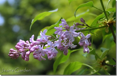 Lilac blooms opening (photo credit: Jean Pouchek)