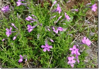 First flowers on Phlox subulata (photo credit: Jean Potuchek)