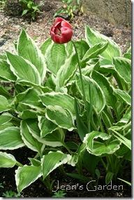 Stray tulip (photo credit: Jean Potuchek)