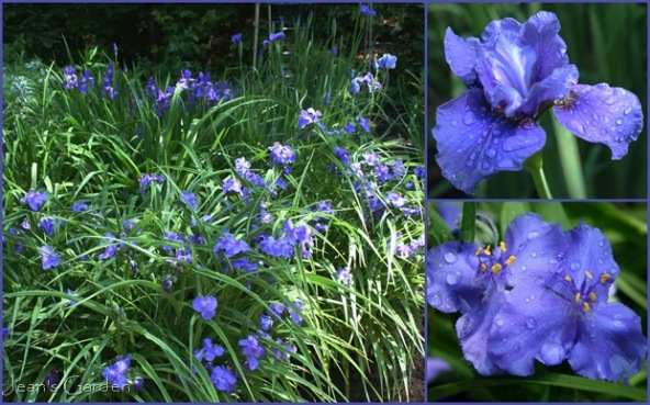 The color and shape of Tradescantia and Siberian iris flowers echo one another, creating a sense of unity  (photo credit: Jean Potuchek)