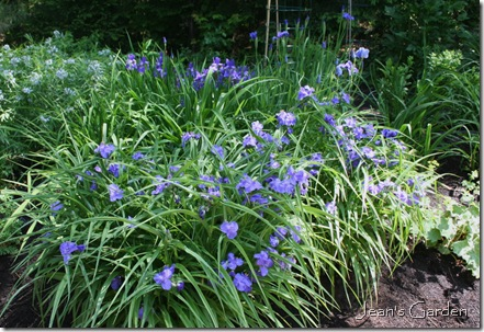 Blue flowers dominate the blue and yellow border in June (photo credit: Jean Potuchek)