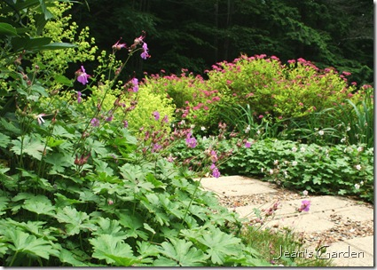 Pink flowers and chartreuse foliage on Spirea 'Magic Carpet' repeat the color combination of chartreuse and pink flowers across the walkway (photo credit: Jean Potuchek)