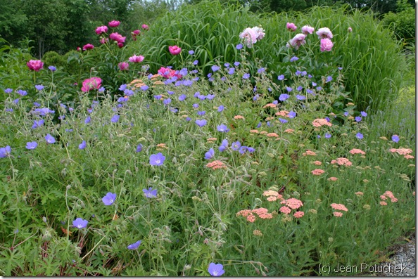 Beautiful  combination of pink peonies, blue geranium and peachy yarrow in the garden at Pineland Farms (photo credit: Jean Potuchek)