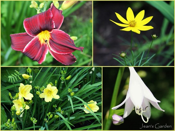 Clockwise from upper left: Unidentified red daylily, Coreopsis 'Golden Showers', hosta flower, Hemerocallis 'Happy Returns' (photo credits: Jean Potuchek)