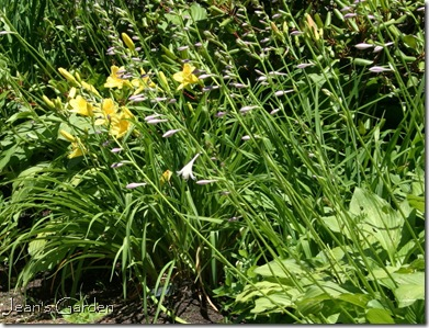 Daylily 'Happy Returns' and hosta bloom together on the back slope (photo credit: Jean Potuchek)