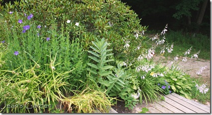 Platycodon and hostas blooming on the back slope in late July (photo credit:Jean Potuchek)