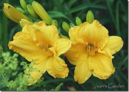 First flowers of Hemerocallis 'Boothbay Harbor Gold' (photo credit: Jean Potuchek)