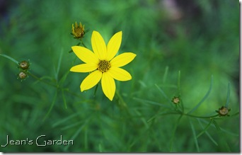 First flowers on Coreopsis verticillata (photo credit: Jean Potuchek)