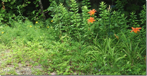 Daylilies and coreopsis naturalizing at the edge of the woods (photo credit: Jean Potuchek)