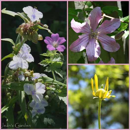 Clockwise from top right: Clematis Comtesse de Bouchaud, Rudbeckia 'Herbstonne' flower opening, Geranium endressii with Tradescantia x 'Osprey' (photo credits: Jean Potuchek)