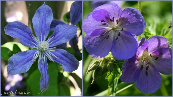Clematis Arabella and Geranium Brookside will provide a blue presence throughout the summer (photo credits: Jean Potuchek)
