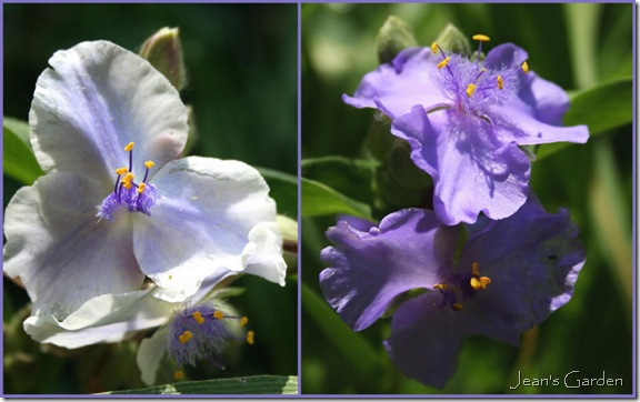 These tradescantia provide blue tones in the fence border in summer -- but close up at mid-day (photo credits: Jean Potuchek)