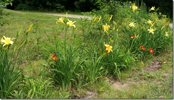 Daylilies greeting visitors in July (photo credit: Jean Potuchek)