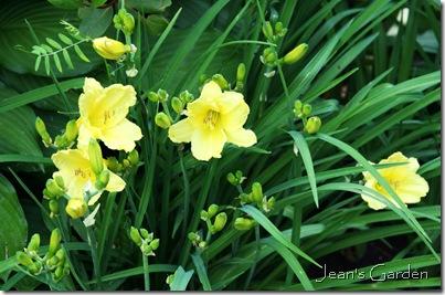 First flowers open on Hemerocallis 'Happy Returns' (photo credit: Jean Potuchek)