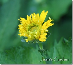 First flower opening on Heliopsis helianthoides (photo credit: Jean Potuchek)