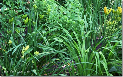 Daylily buds that will open, filling the garden with yellow bloom in July (photo credit: Jean Potuchek)