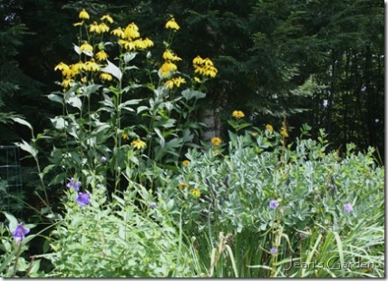 Blues and yellows in the August garden (photo credit: Jean Potuchek)