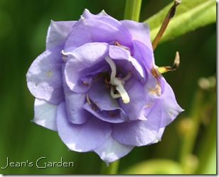 Double flower of Campanula persicifolia 'La Belle' (photo credit: Jean Potuchek)