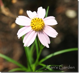 Single sweet flower of Coreopsis rosea (photo credit: Jean Potuchek)