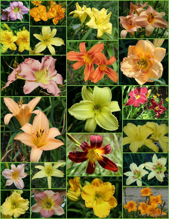 Daylily varieties in my garden (photo credits: Jean Potuchek)