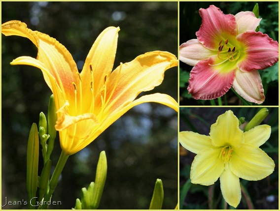 Fall-blooming daylilies in the fence border -- clockwise from left: Autumn Minaret, Final Touch, Sandra Elizabeth (photo credits: Jean Potuchek)