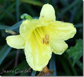 Hemerocallis Happy Returns blooming in my Gettysburg garden (photo credit: Jean Potuchek)