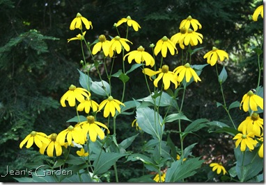 Rudbeckia herbstsonne blooms profusely in the late summer garden (photo credit: Jean Potuchek)