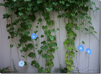 Morning Glory vines growing on the patio fence (photo credit: Jean Potuchek)