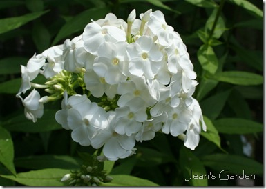 White bloom of Phlox paniculata 'David' (photo credit: Jean Potuchek)
