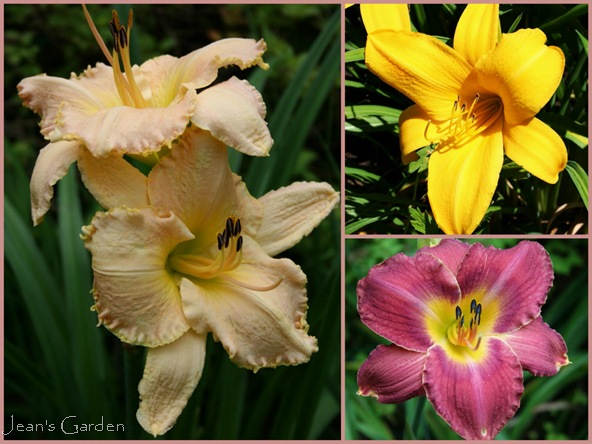 A trio of unregistered daylily cultivars (photo credits: Jean Potuchek)
