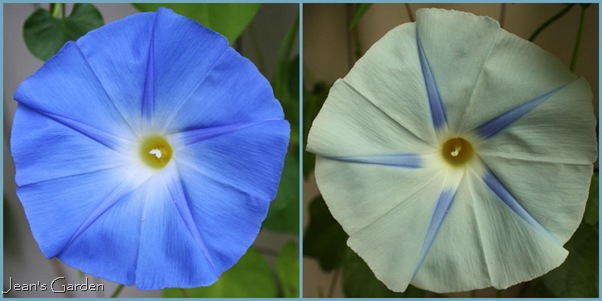The flowers of Ipomoea tricolor 'Blues Brothers' (photo credits: Jean Potuchek)