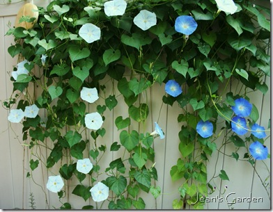 The glorious combination of Ipomoea tricolor 'Blues Brothers' growing on the patio fence in my Gettysburg garden (photo credit: Jean Potuchek)