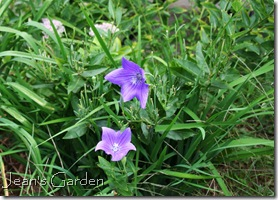 Blue balloon flower blooming in my Gettysburg Garden (photo credit: Jean Potuchek)