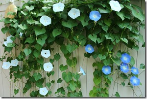 Morning Glories blooming on the patio fence in Gettysburg (photo credit: Jean Potuchek)
