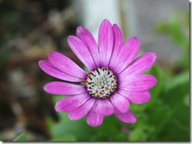 A pink osteospermum blooming in Gettysburg (photo credit: Jean Potuchek)