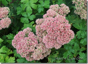 Flowers of Sedum 'Neon' (photo credit: Jean Potuchek)