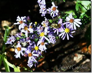 Aster 'Bluebird' with bees (photo credit: Jean Potuchek)