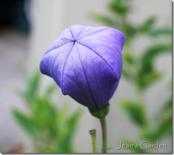 Blue platycodon bud about to open (photo credit: Jean Potuchek)