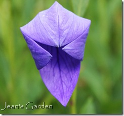 Blue platycodon opening (photo credit: Jean Potuche)