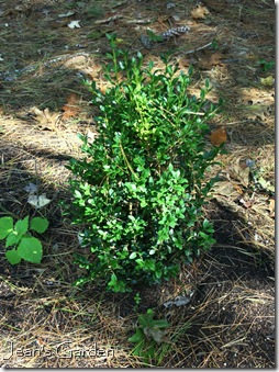 Deer-resistant boxwood (photo credit: Jean Potuchek)