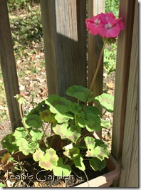 Pelargonium blooming on deck in October (photo credit: Jean Potuchek)