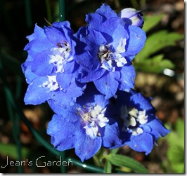 October bloom of Delphinium 'Royal Aspirations' (photo credit: Jean Potuchek)