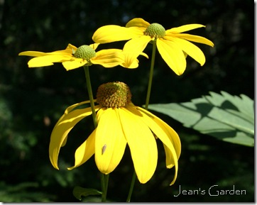 October blooms on Rudbeckia 'Herbstsonne' (photo credit: Jean Potuchek)